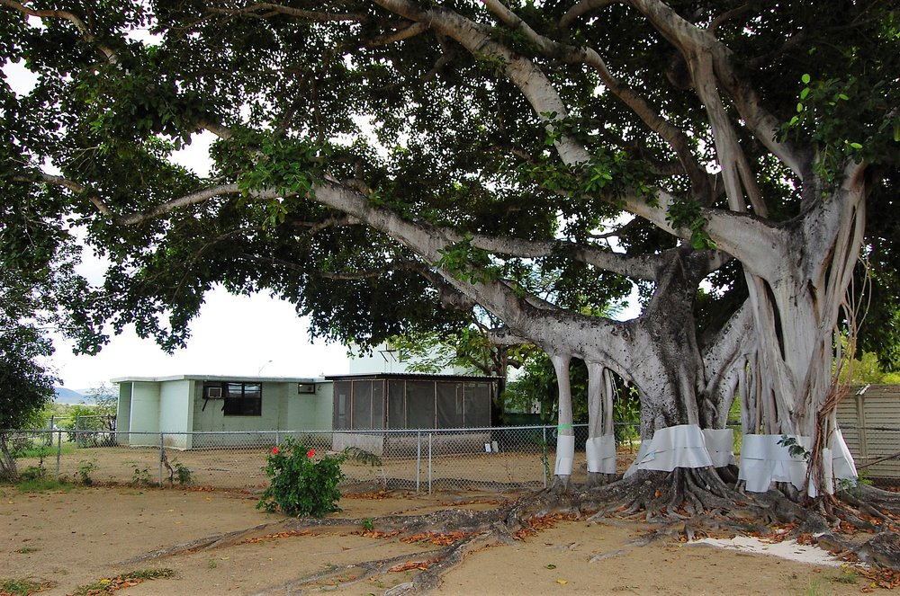 Guantanamo Banyan Tree