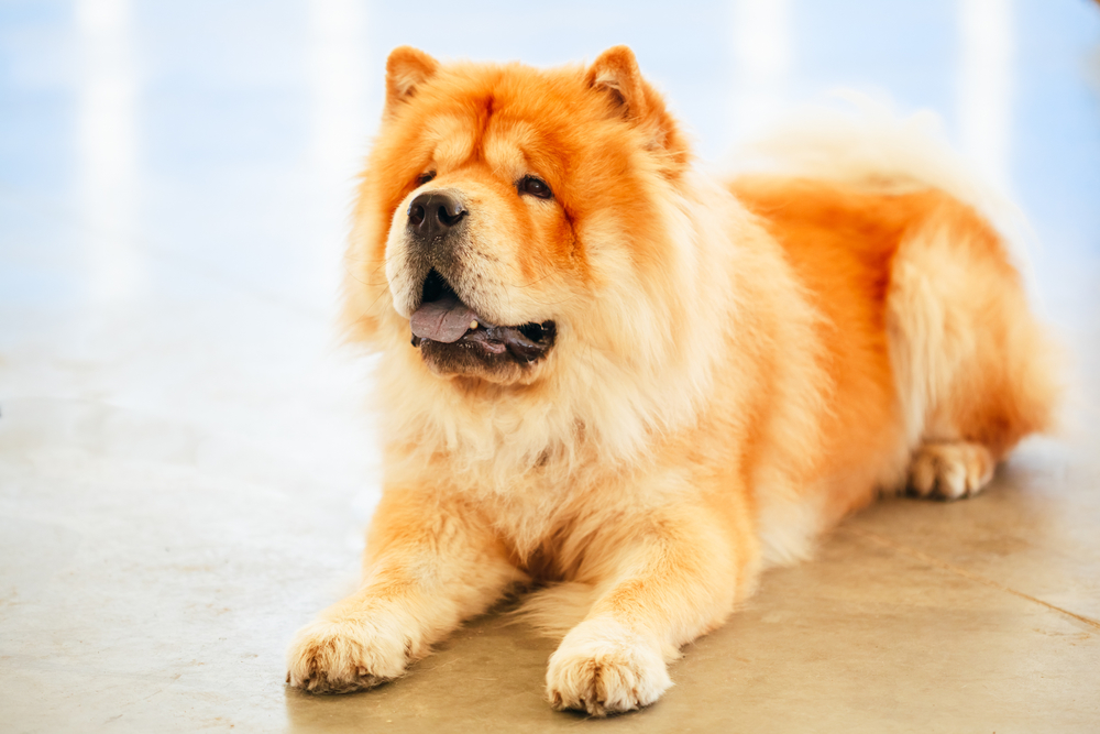 230614_brown_chines_chow_chow_dog_4674.jpg