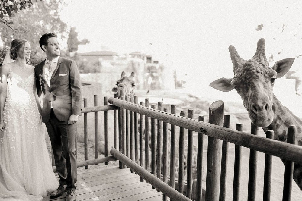 santa barbara zoo wedding photos with giraffe feeding