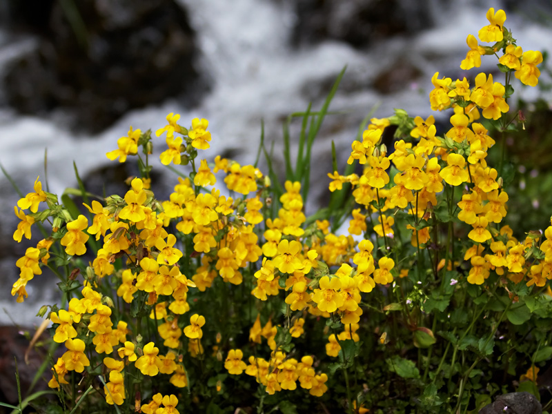 Mimulus guttatus .  Things may look innocent, but this picture actually captures a heated battle between different plants, males and females, and even alleles of the same genes!