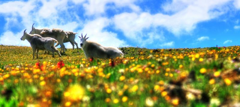 goats and flower&#11.jpg