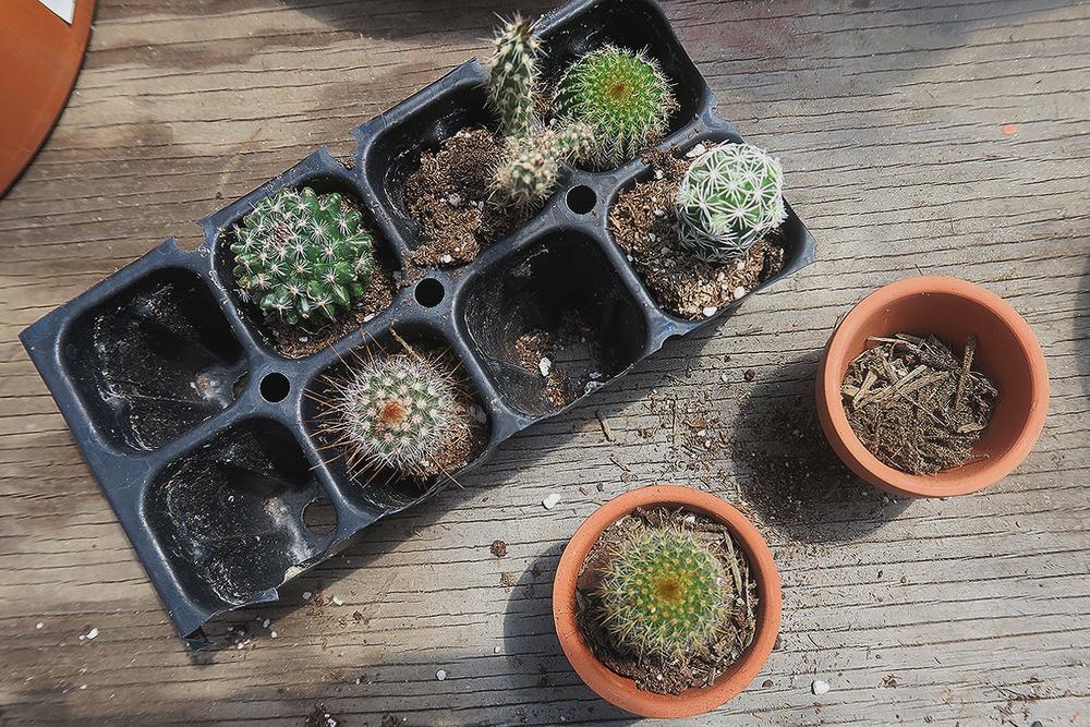 cacti03.jpg