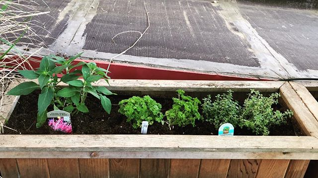 Weekend project #3: Fledgling herb garden with irrigation on a timer. Pictured: Parsley, sage and thyme. Rosemary couldn't fit in the picture framing. #garfunkeled