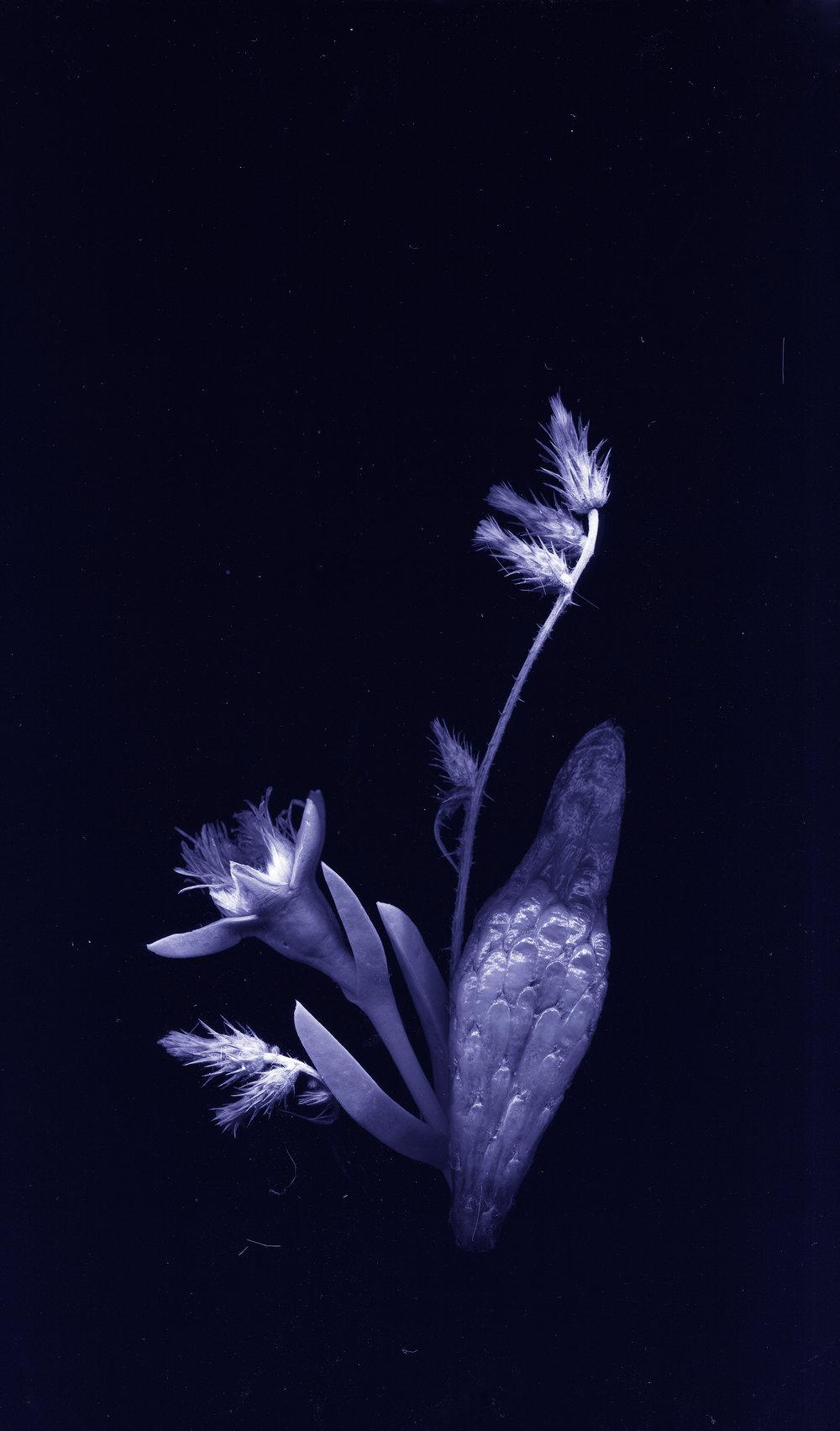 WeiXin Chong | flores nativias .2, 2017