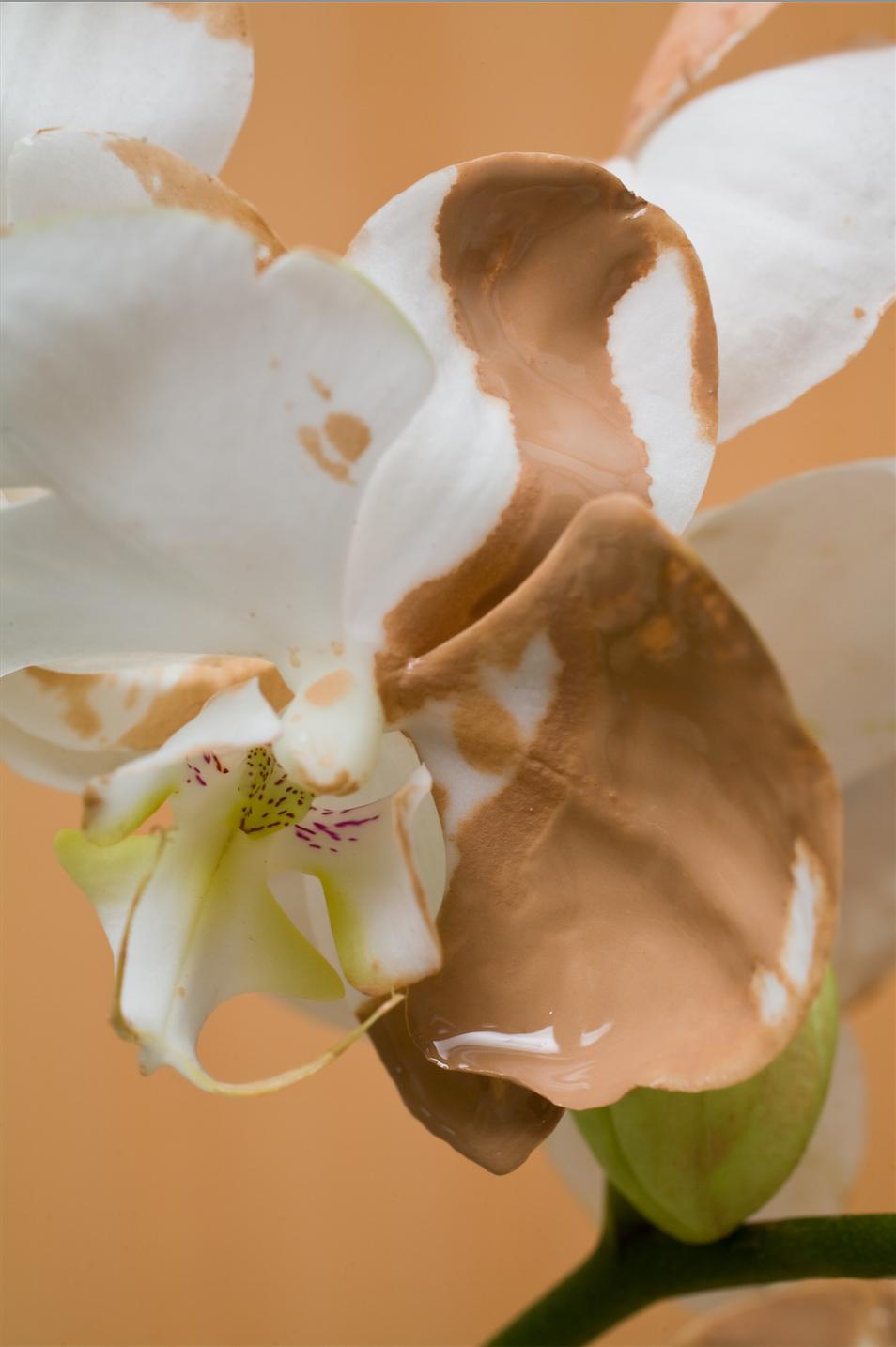 Orchidia Lust Lush. 1, 2017
