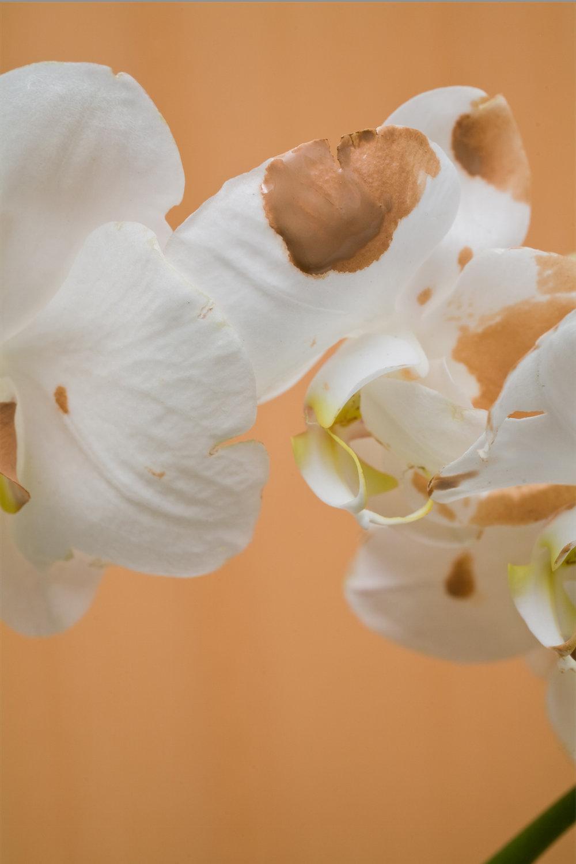 Orchidia Lust Lush. 3, 2017