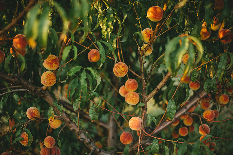 Eckert's Peach Picking