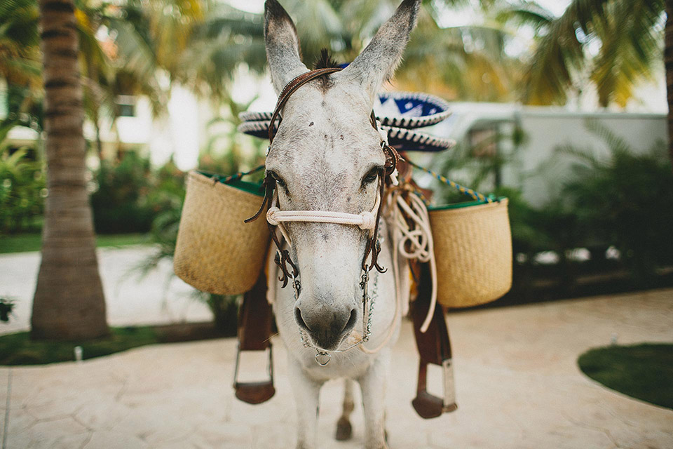 Donkey carrying cerveza