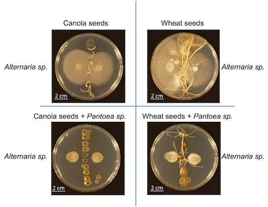 Example of how a beneficial bacterium can protect seeds from fungal spoilage. Composite figure is based on our work at  doi:10.1111/nph.12693
