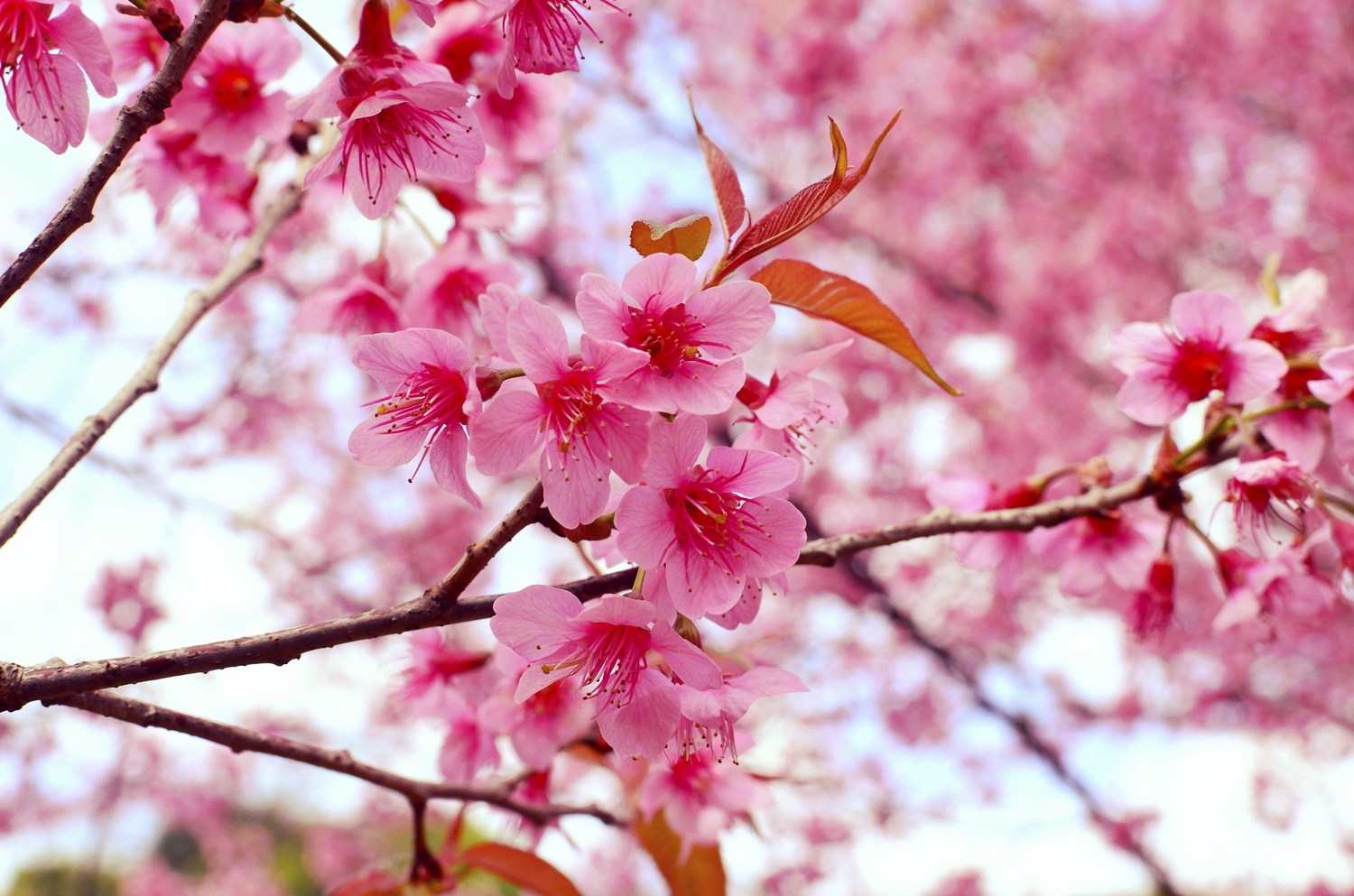 Blossoms Of Hope Kwanzan Cherry Or Native Dogwood Tree Blossoms Of