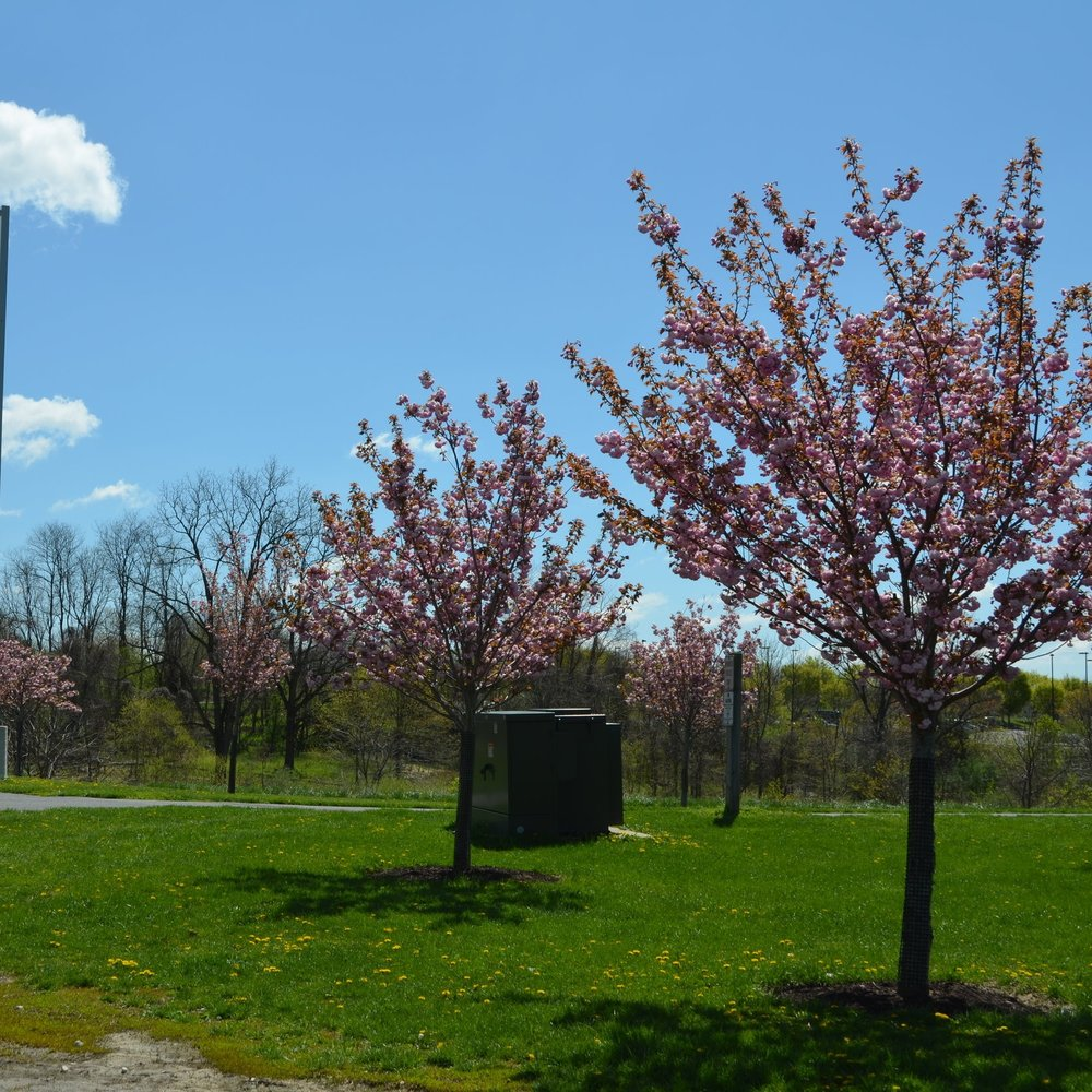 Some of the Kwanzan cherry trees at the Meadowbrook Complex.