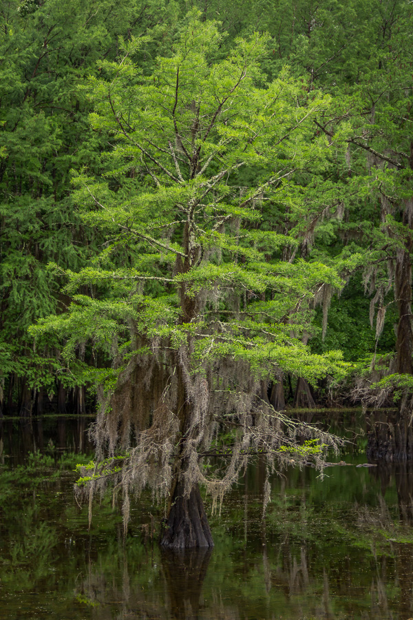 Spring Cypress Tree Dripping with Spanish Moss
