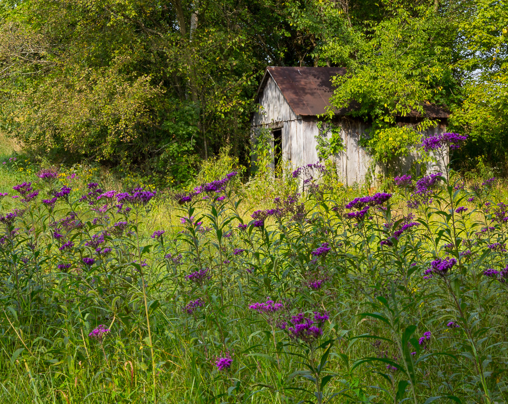 An old abandoned building,surrounded by beautiful puple ironweed and fall trees. Anderson county, Kentucky
