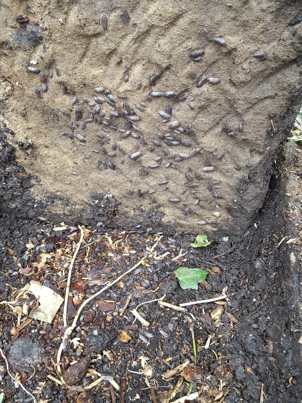 A woodlouse convention