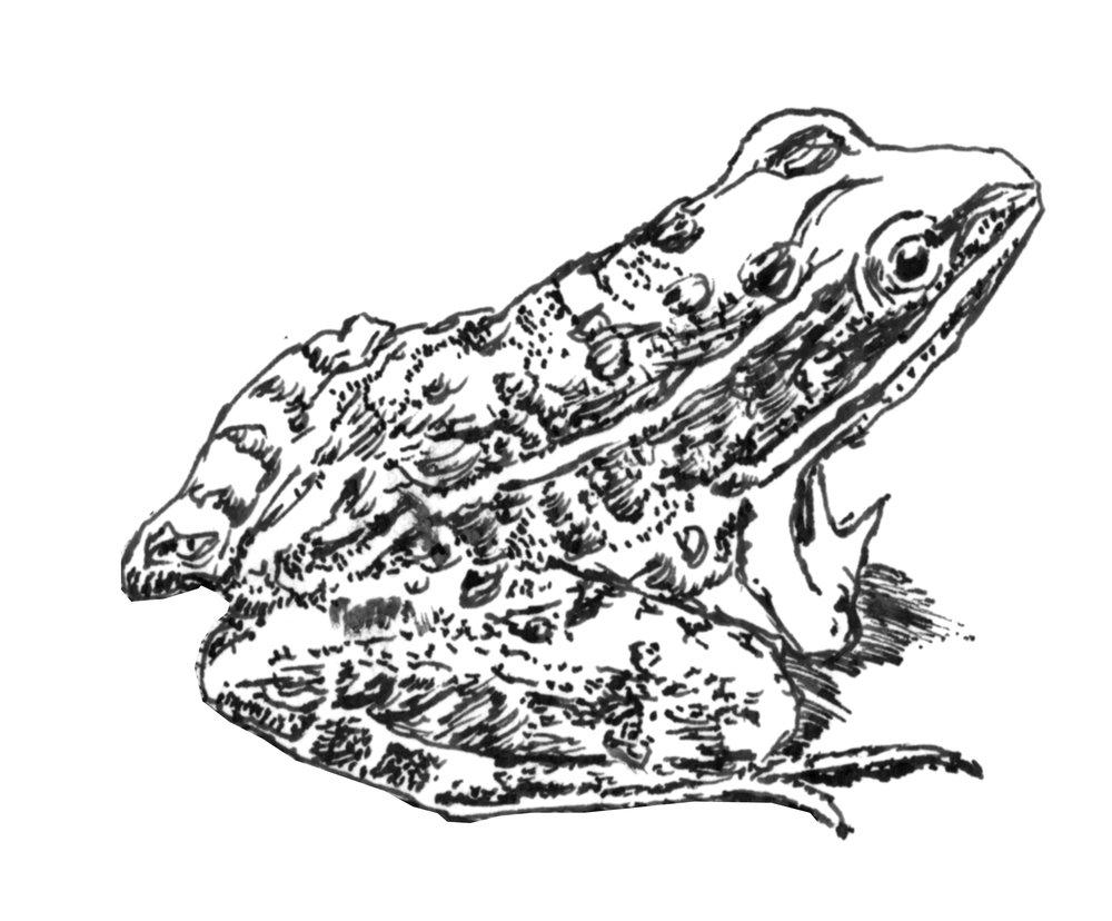 N_leopard_frog.jpg