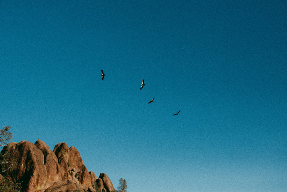 condors in pinnacles