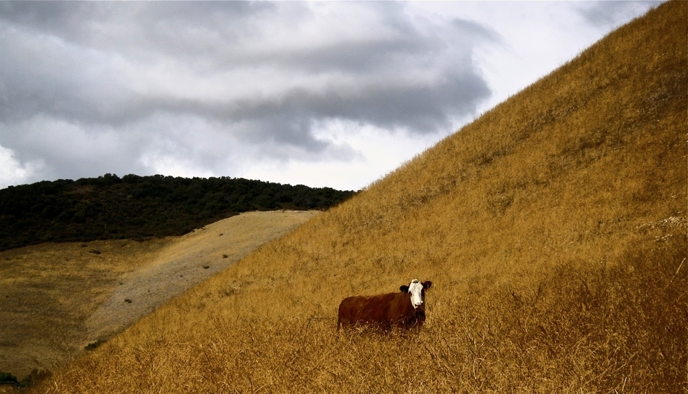 Brown Cow in Brown HIlls