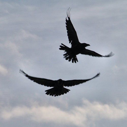 (Ravens in Flight by Atli Harðarson)