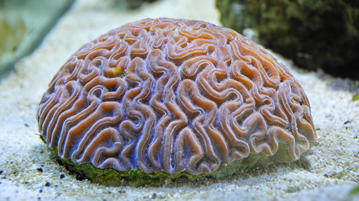 brain coral texture.png