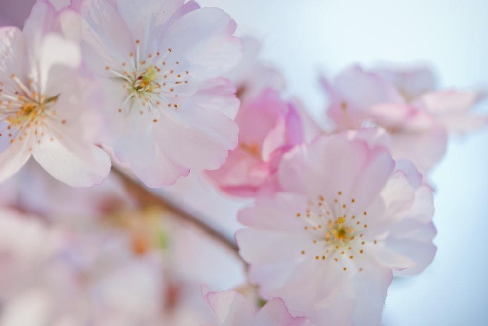 52-kgphoto.cherryblossoms2011-91.jpg