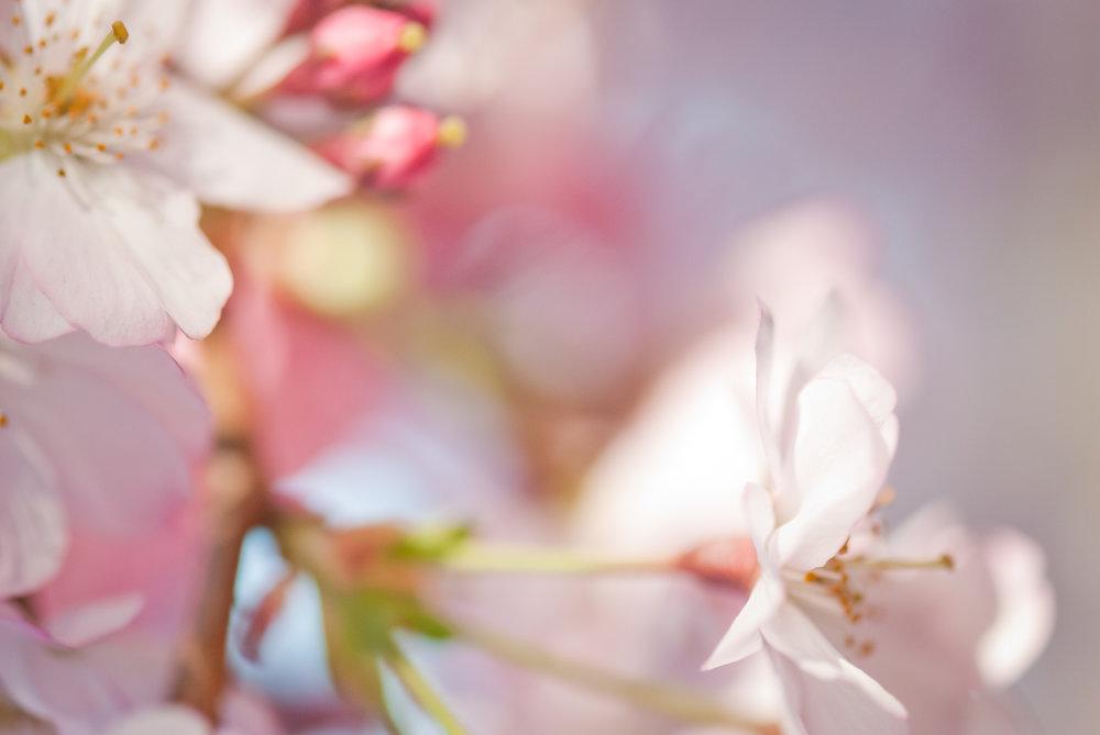 76-kgphoto.cherryblossoms2011-96.jpg