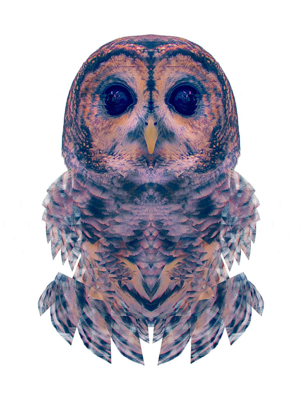 Animalia: Barred Owl