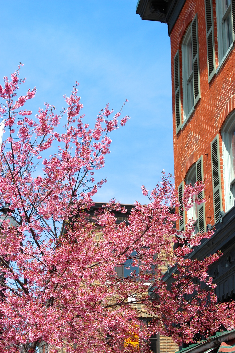 Cherry Blossoms blooming in Baltimore!