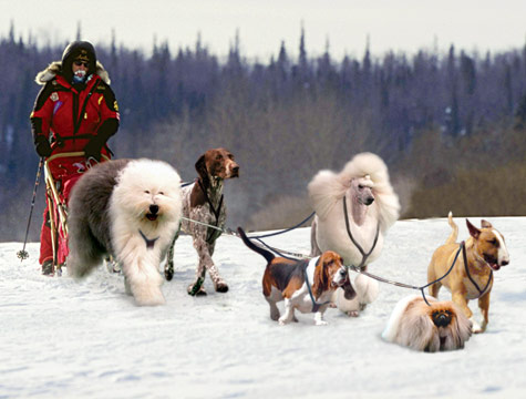 Westminster dog show finalists form elite Iditarod team.