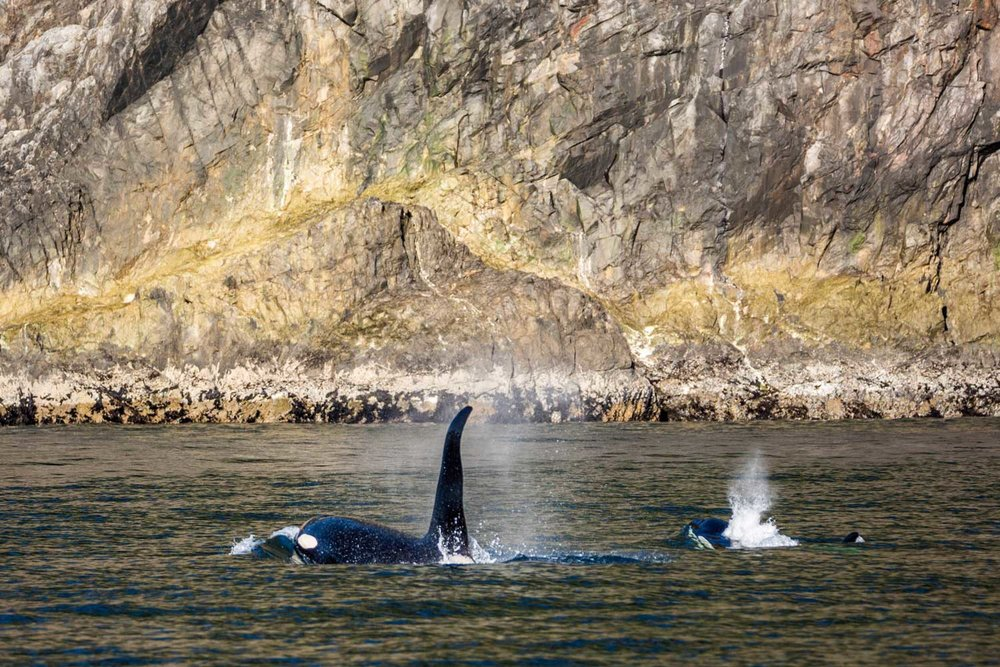 Sea Kayak KIller Whales