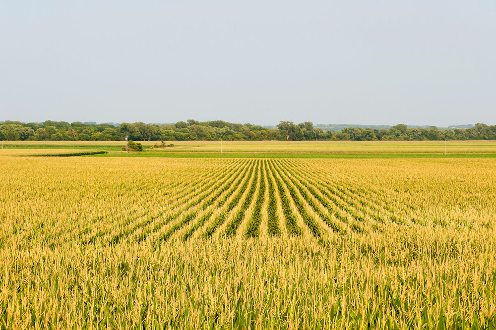 Corn fields.jpg
