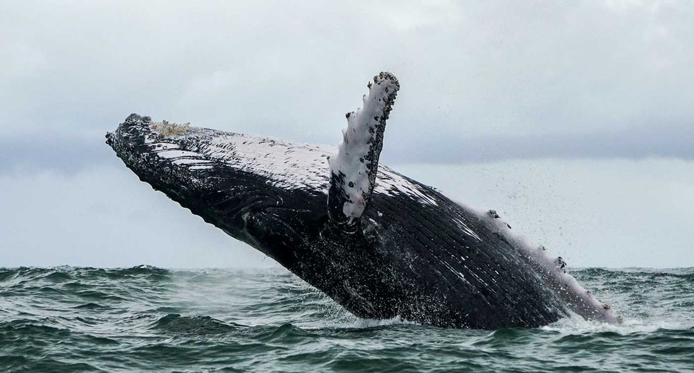 Be the first the migrate with a pod of humpback whales.