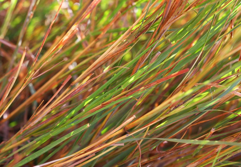 Pili Grass.jpg
