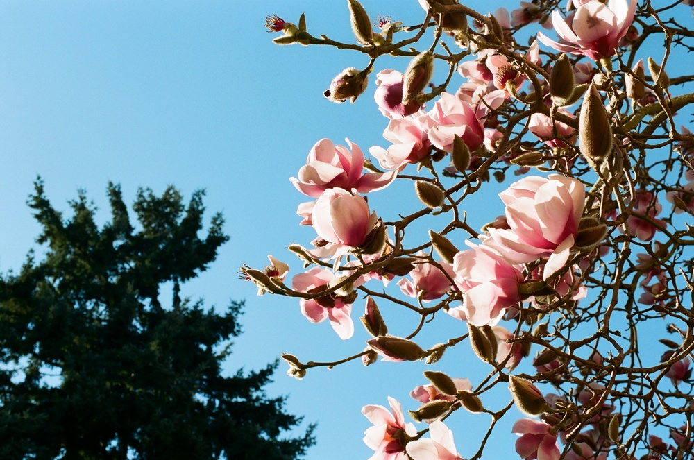 Magnolias in bloom.