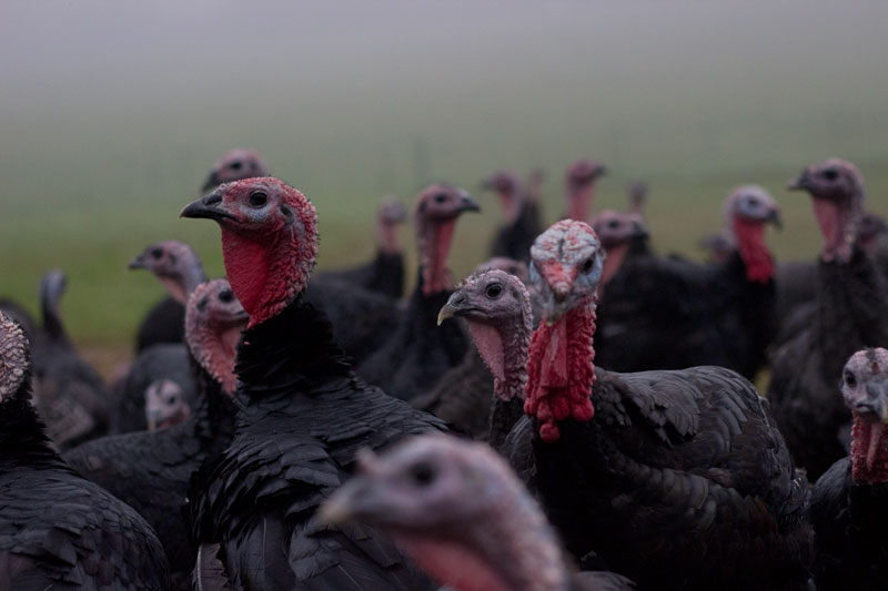 turkeys2.jpg