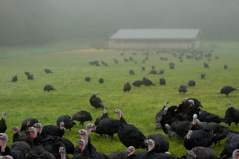 turkeys4.jpg