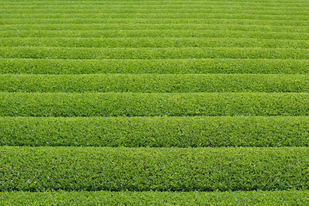 Rows of Tea in Ureshino
