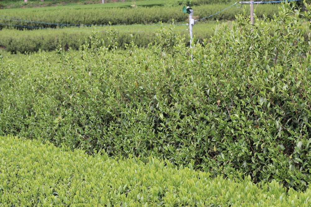 These high, unkept rows protect the tea to the left from unwanted pesticide exposure from neighboring fields