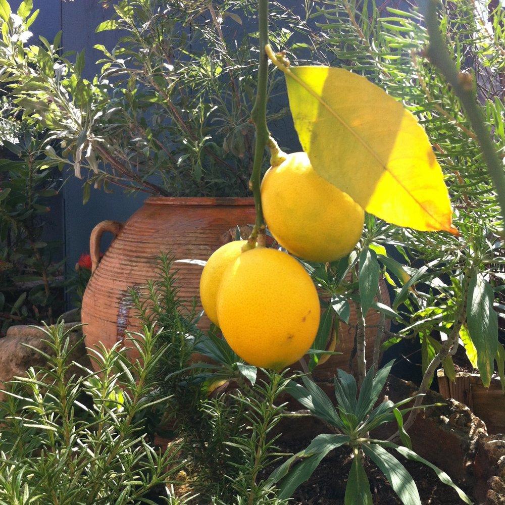 gjusta lemons