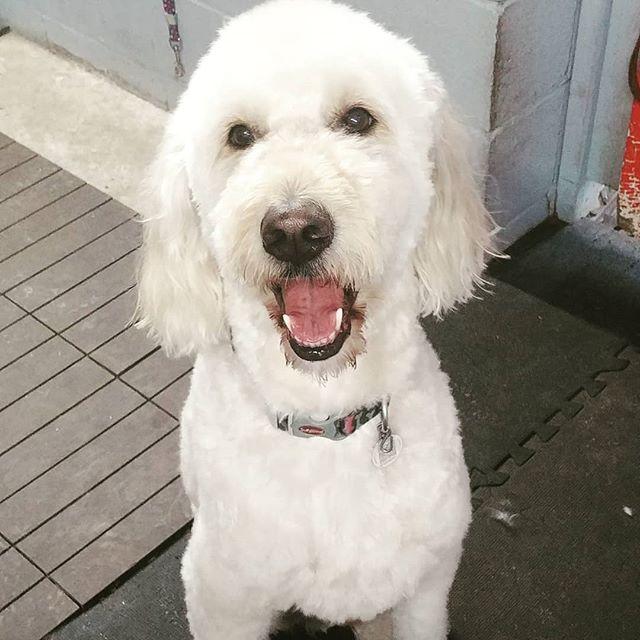 Cooper #goldendoodlesofinstagram