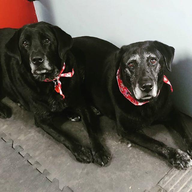 Lucy & Kitzy #labradorretriever