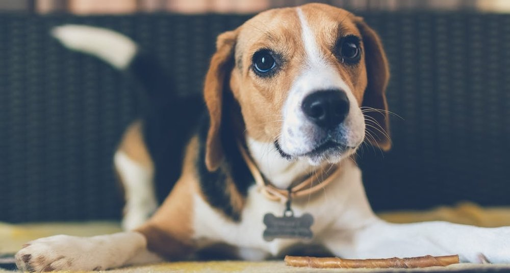beagle.jpeg