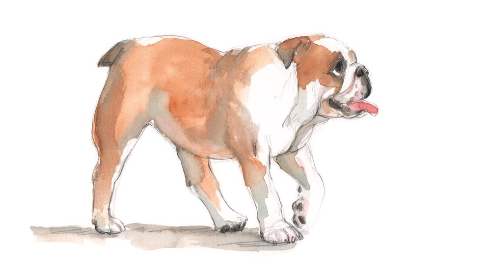 bulldogwalkingapril26.jpg