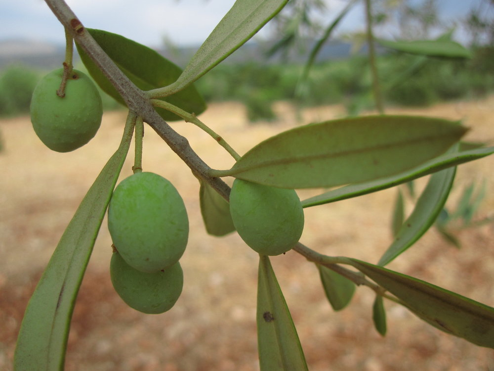 Baby Kouzini olives getting ready for the harvest!