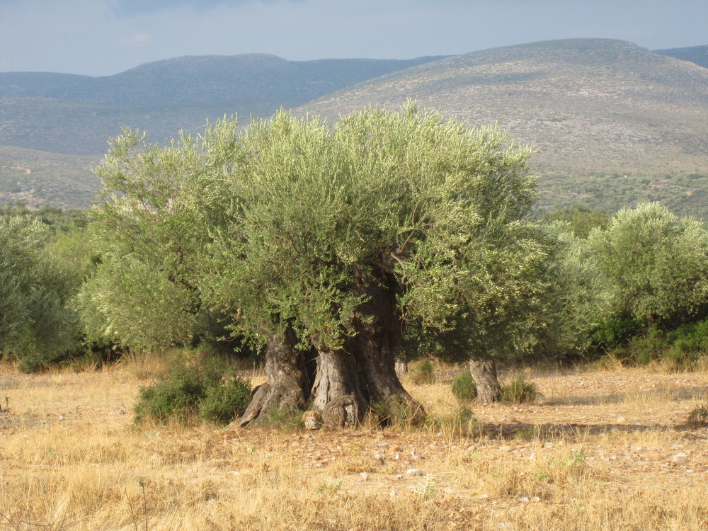 A Kouzini tree dating back over a thousand years!