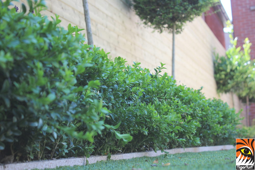 buxus hedging and Tigerurf