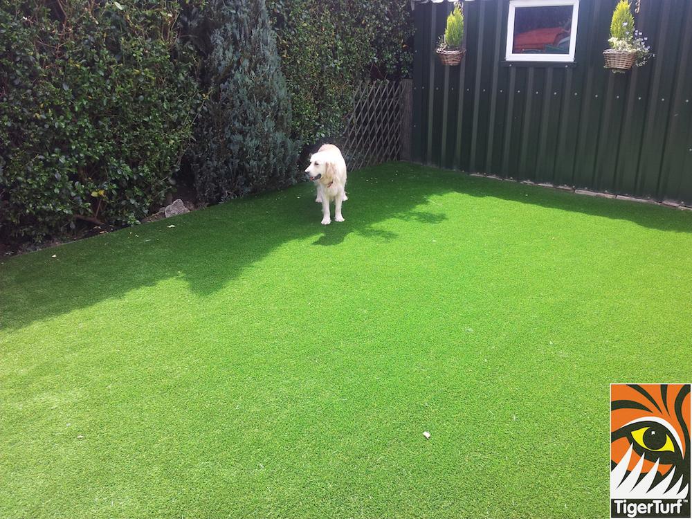 tigerturf lawn turf 813.jpg