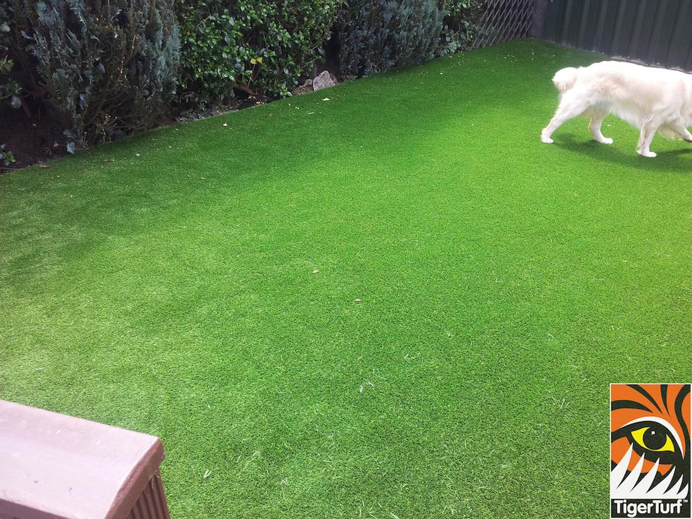 tigerturf lawn turf 815.jpg