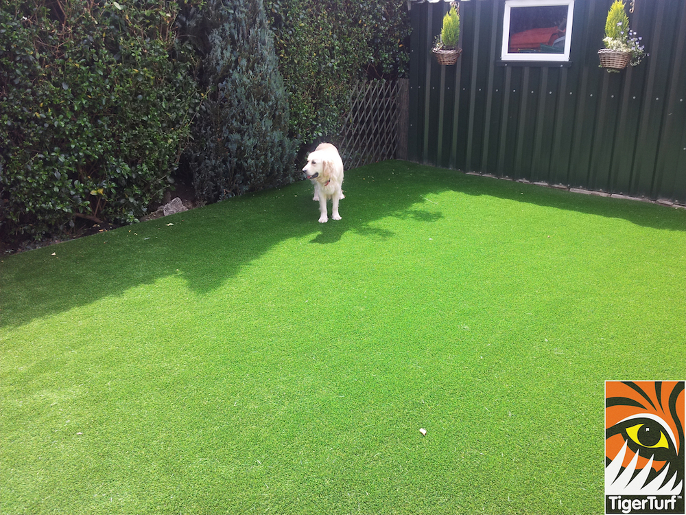 retriever dog enjoying new synthetic grass