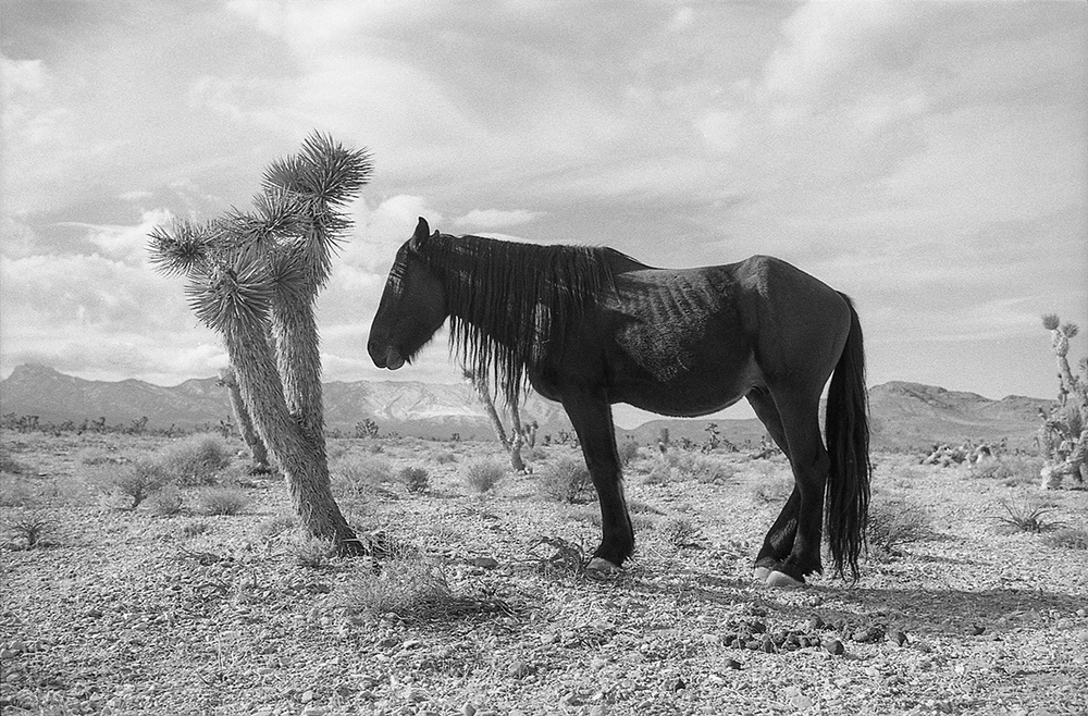 Nevada Desert Horse Catches Shade