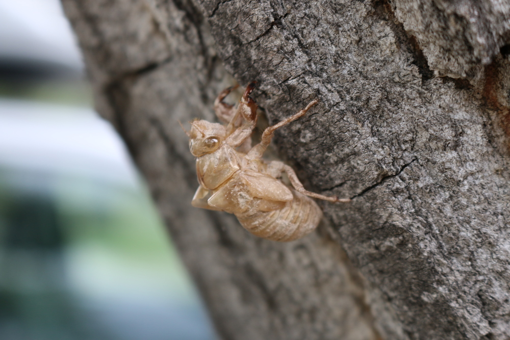Exoskeleton - over 1 inch long - on a tree next to our RV.